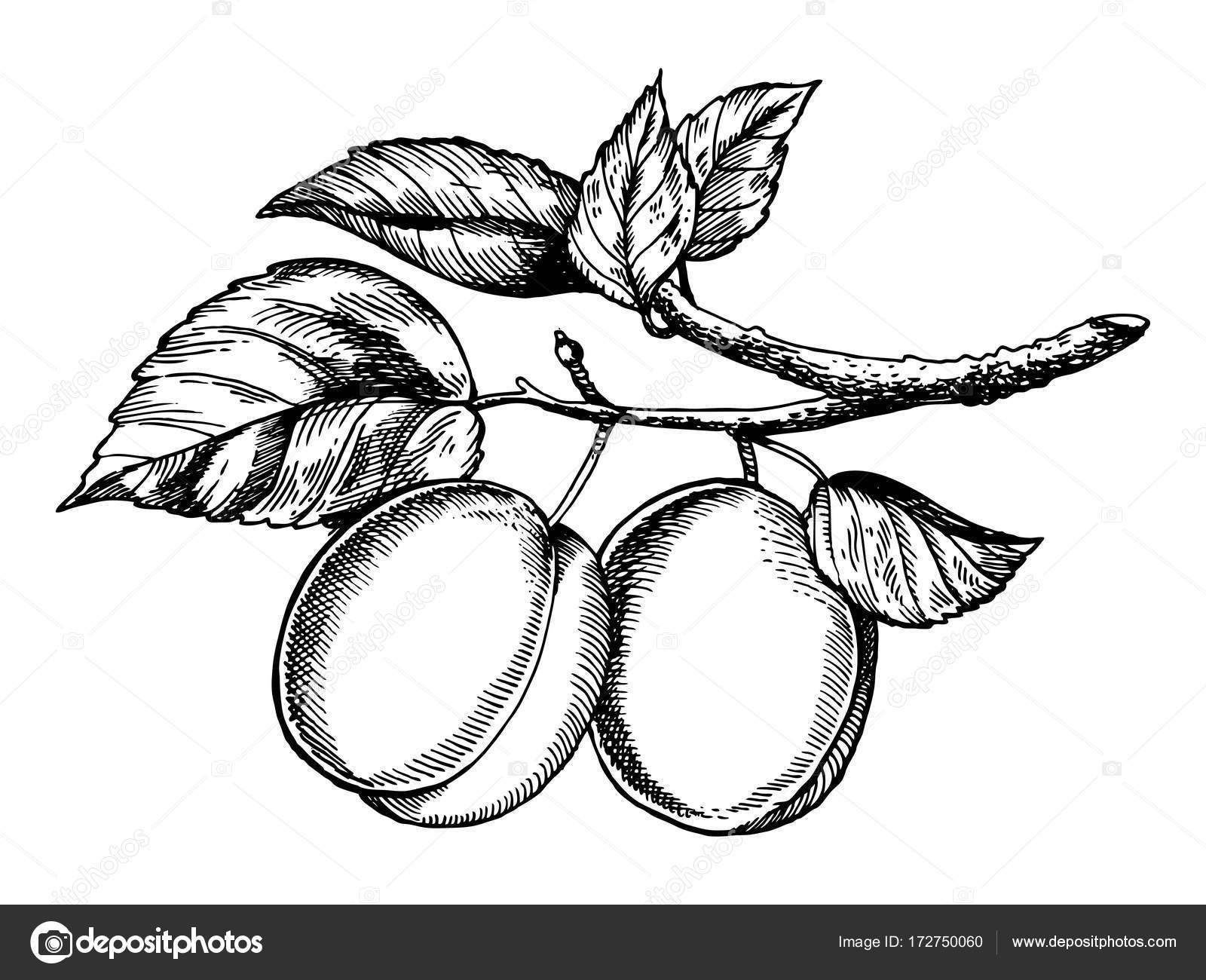 Sprig Of Plum Engraving Vector Illustration