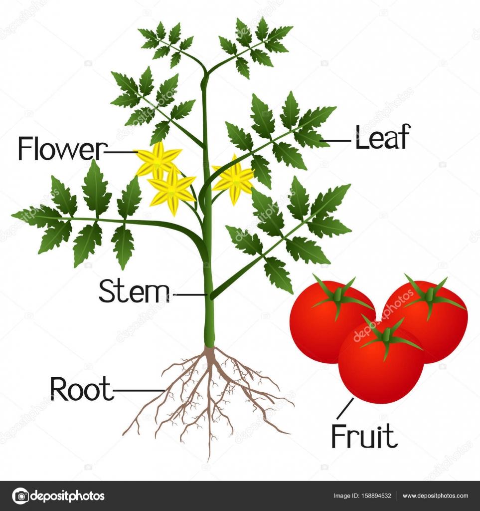 Illustratie Van De Delen Van Een Tomatenplant