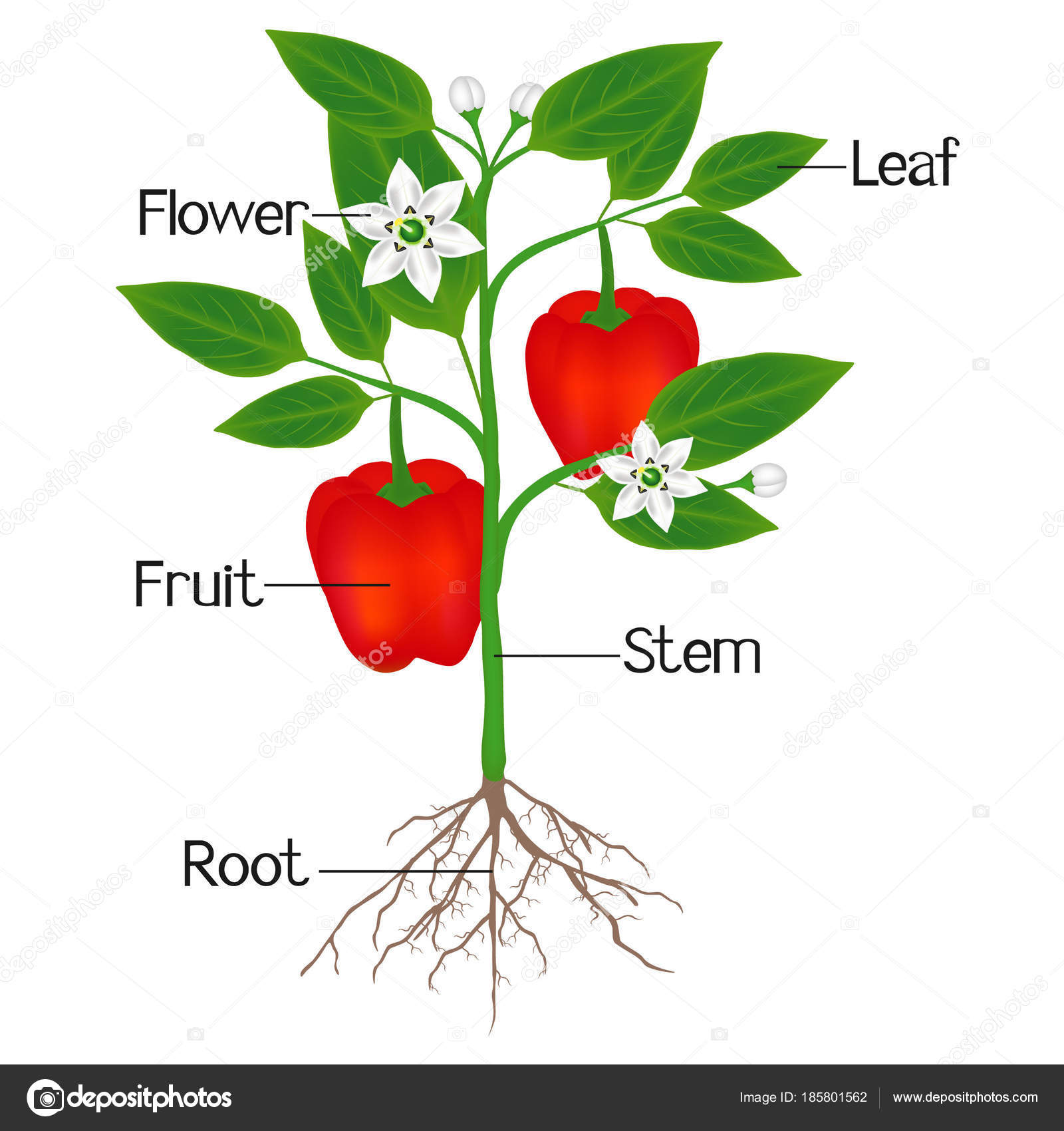 Illustration Showing Parts Plant Red Pepper