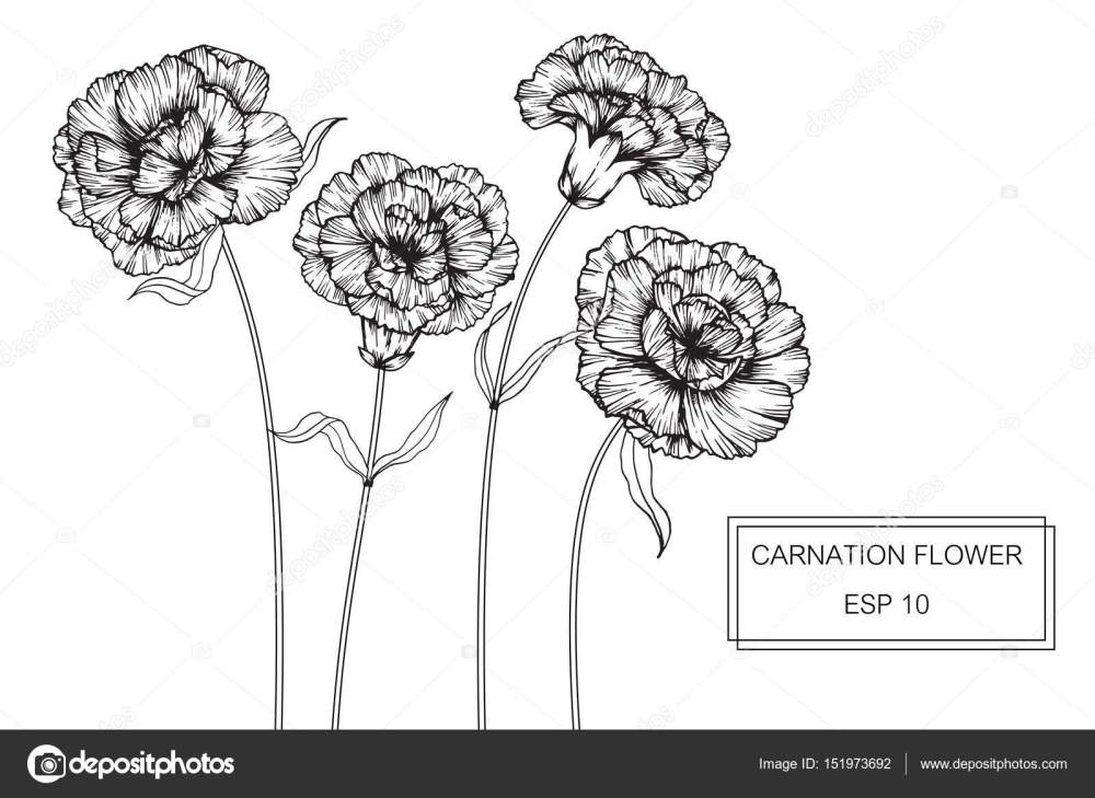 medium resolution of carnation flowers drawing and sketch with line art on white backgrounds vector by suwi19
