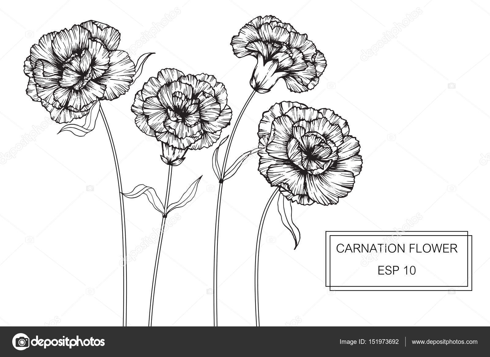 hight resolution of carnation flowers drawing and sketch with line art on white backgrounds vector by suwi19