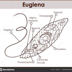 Euglena Cell Diagram With Labels 2001 Saturn Sl2 Spark Plug Wiring Vector Cross Section Representative Protists Eug Euglenoid Plant Like And Animal Microscopic Creature All Parts Nucleus Flagellum