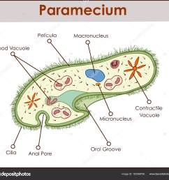 the structure of paramecium saudatum stock vector [ 1600 x 1508 Pixel ]