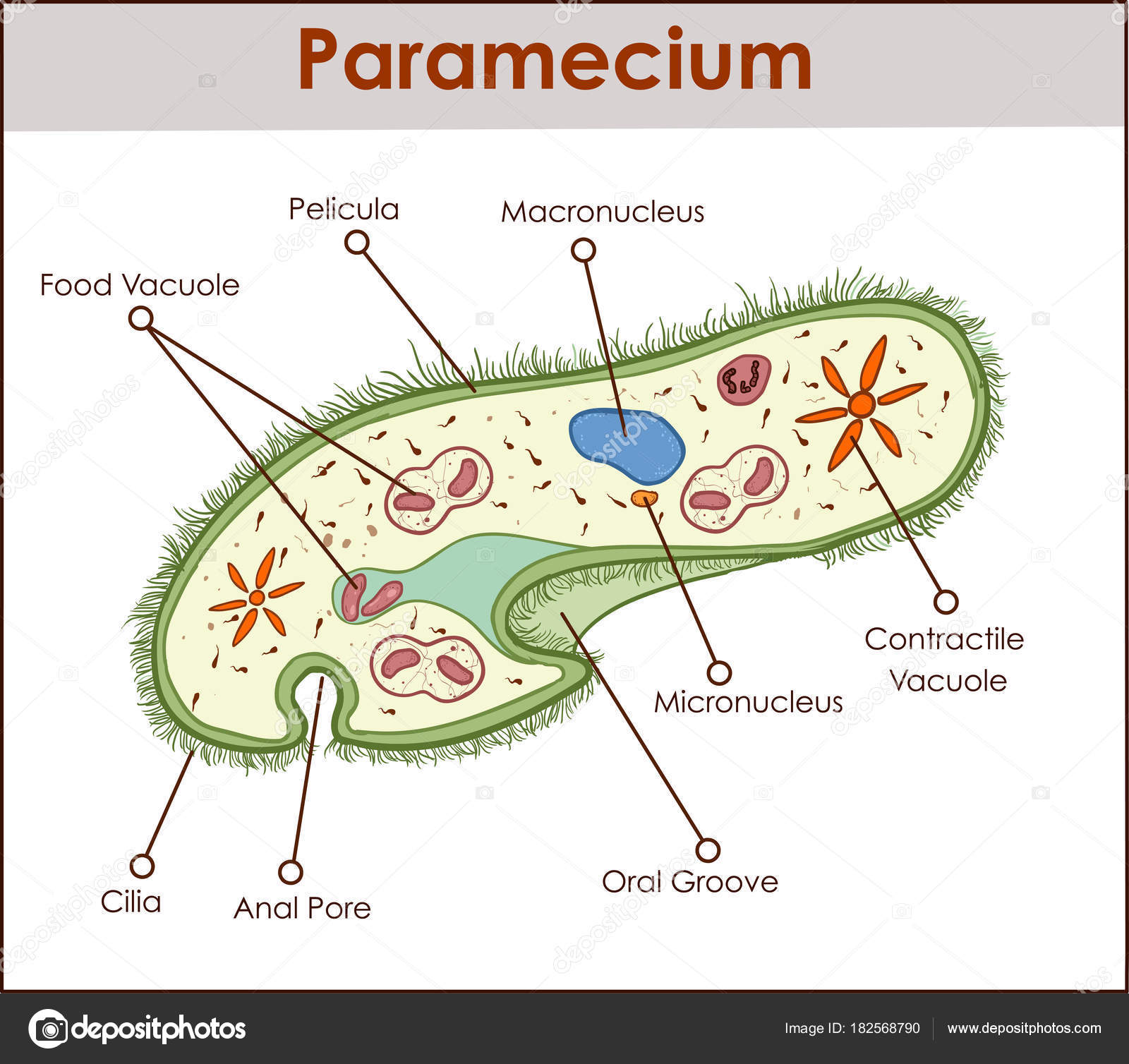 hight resolution of the structure of paramecium saudatum stock vector