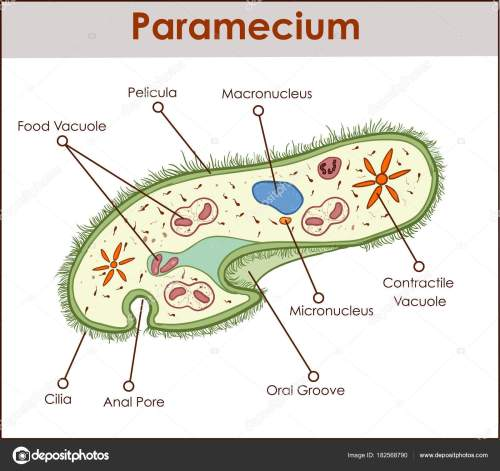 small resolution of the structure of paramecium saudatum stock vector