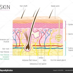 Skin Layers Diagram Labeled Simple Nitrous Wiring Human Anatomy And Hair  Stock Vector