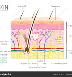 human anatomy skin and hair diagram stock vector [ 1024 x 883 Pixel ]