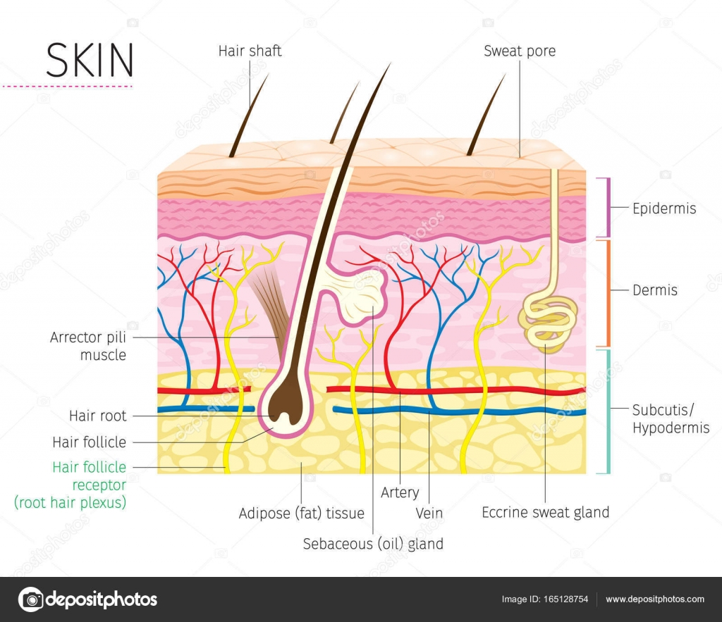 hight resolution of human anatomy skin and hair diagram stock vector