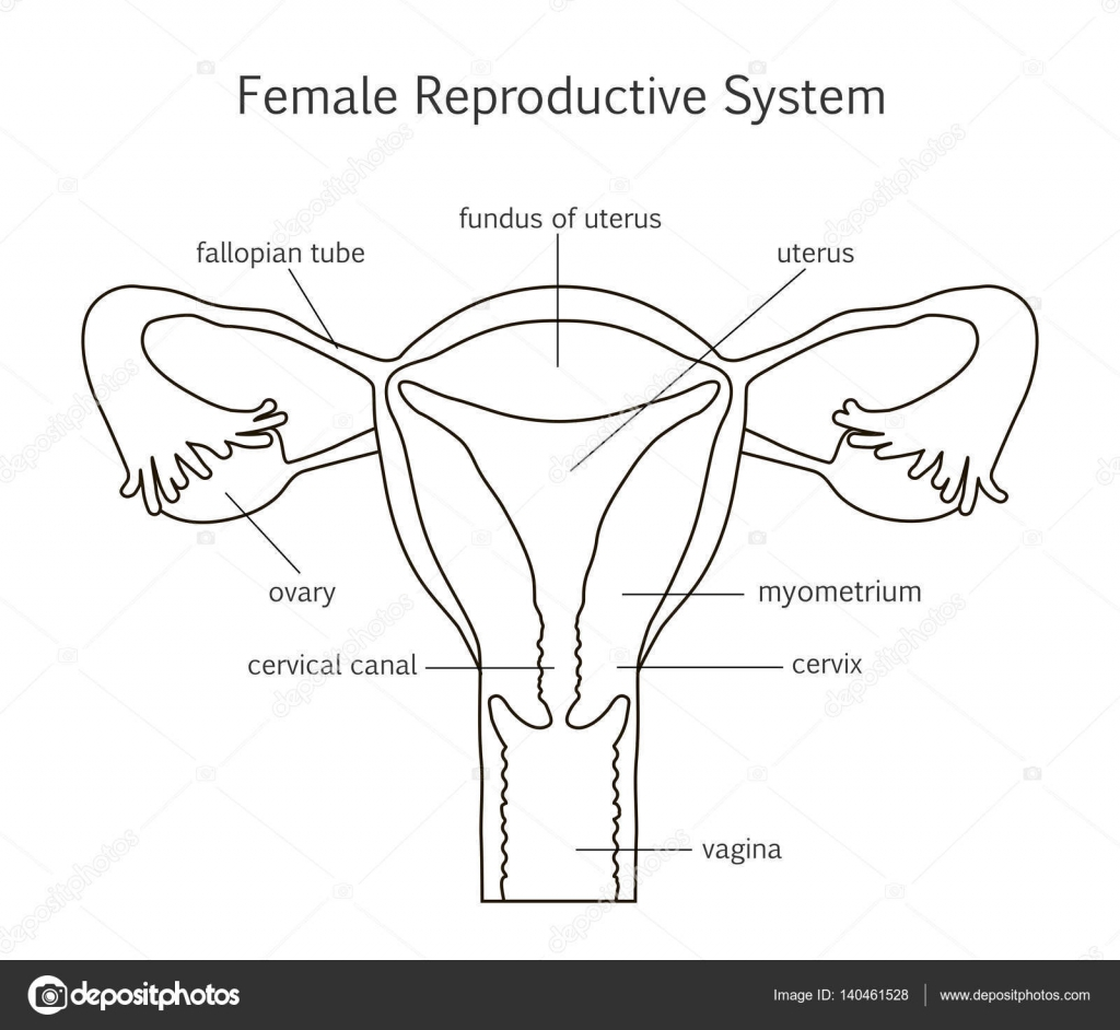 Icono De Linea De Sistema Reproductivo Femenino
