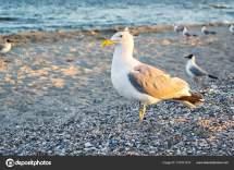 Sea Gull Standing Feet Beach Sunset