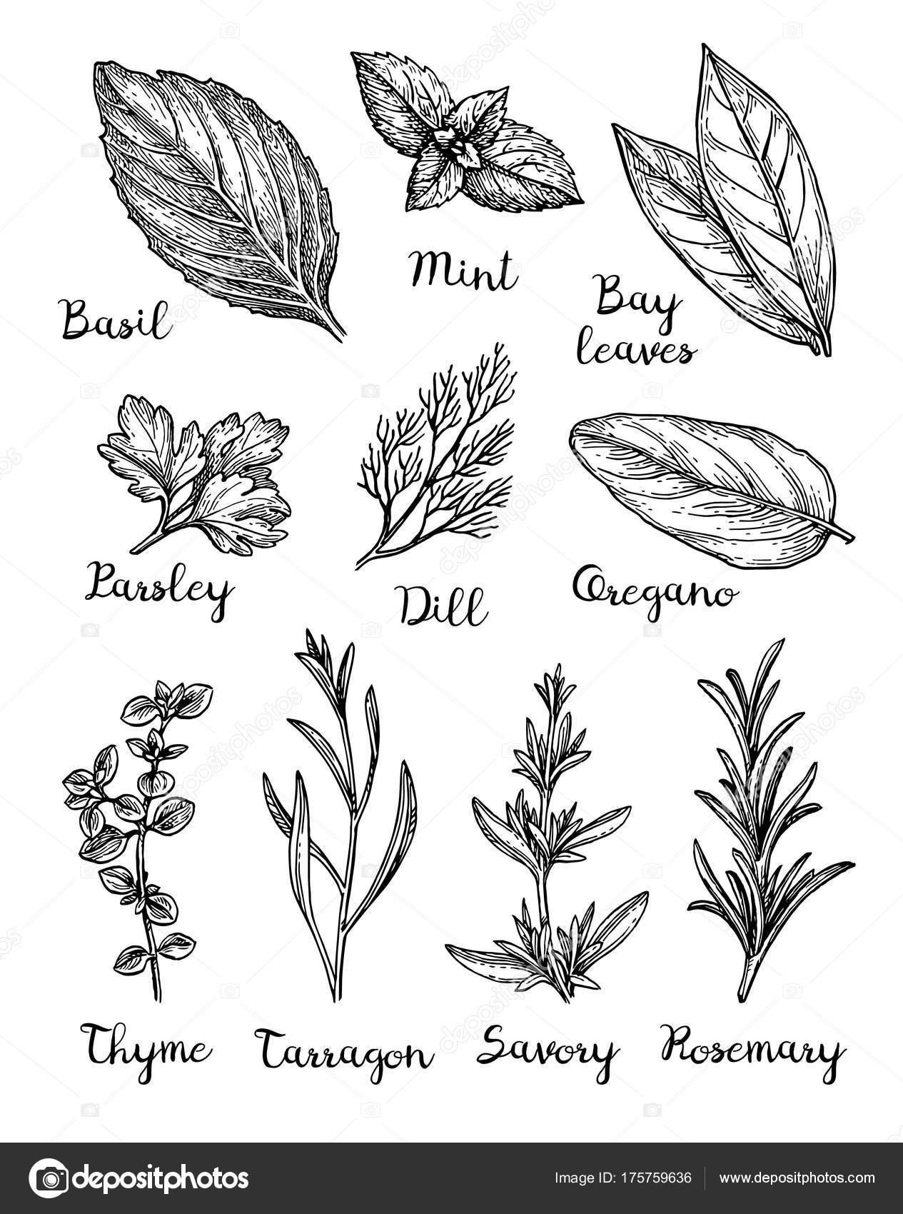kitchen herb kit ikea base cabinets 草本墨水素描 图库矢量图像 c alhontess gmail com 175759636 草药套装 在白色背景上隔离的墨迹草图的集合 手绘矢量插图 复古风格 矢量图片alhontess