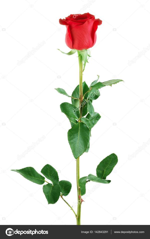 Rosa Rossa Su Sfondo Bianco Foto Stock Vadarshop Mvlc