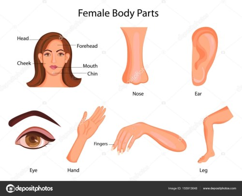small resolution of medical education chart of biology for female body parts diagram stock vector