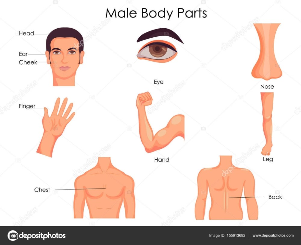 medium resolution of medical education chart of biology for male body parts diagram stock vector