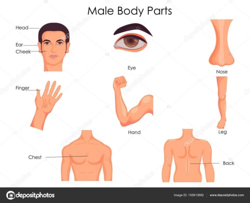 small resolution of medical education chart of biology for male body parts diagram stock vector