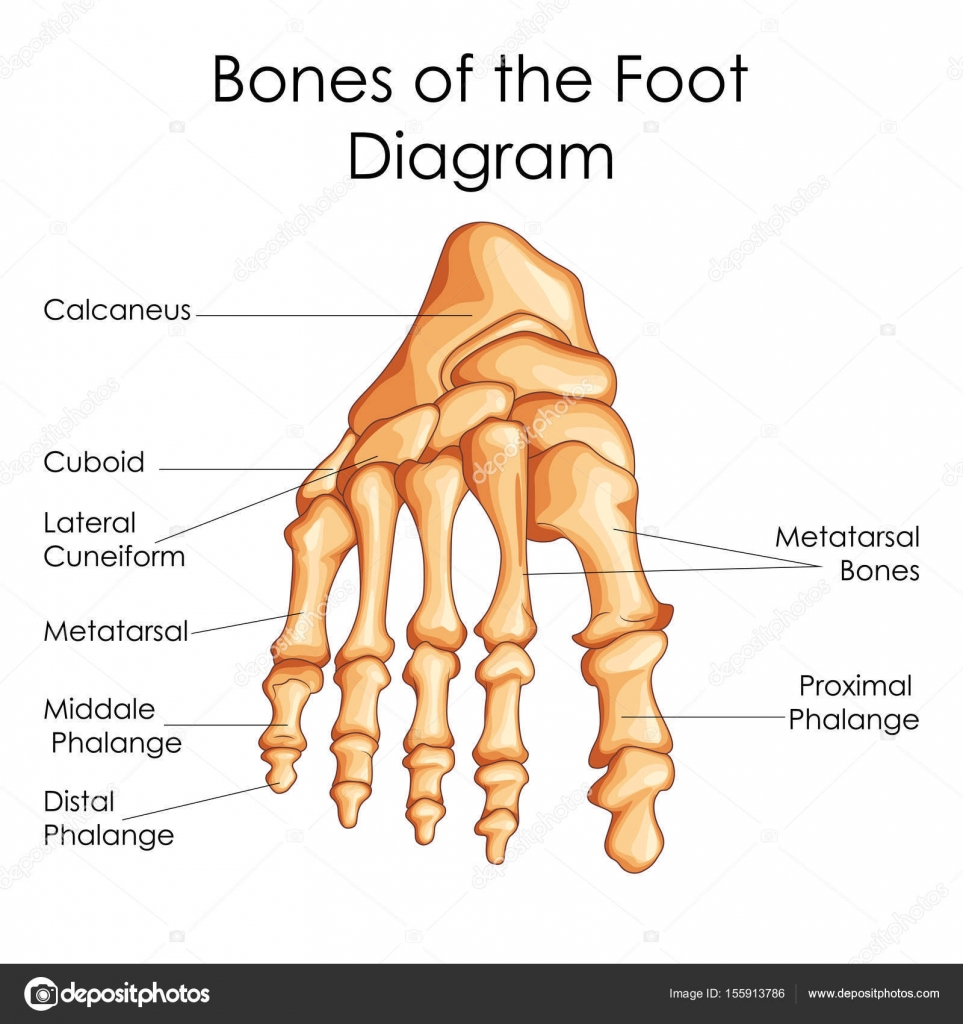 hight resolution of medical education chart of biology for bones of foot diagram stock vector
