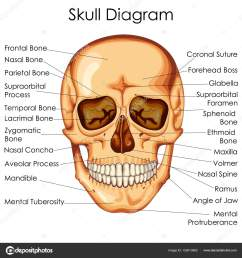 medical education chart of biology for human skull diagram stock vector [ 963 x 1024 Pixel ]
