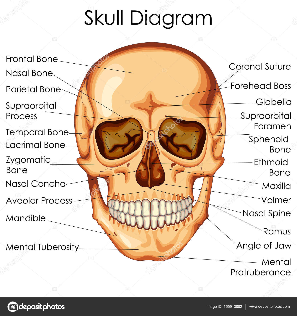 hight resolution of medical education chart of biology for human skull diagram stock vector