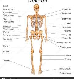 medical education chart of biology for human skeleton diagram stock vector [ 896 x 1024 Pixel ]