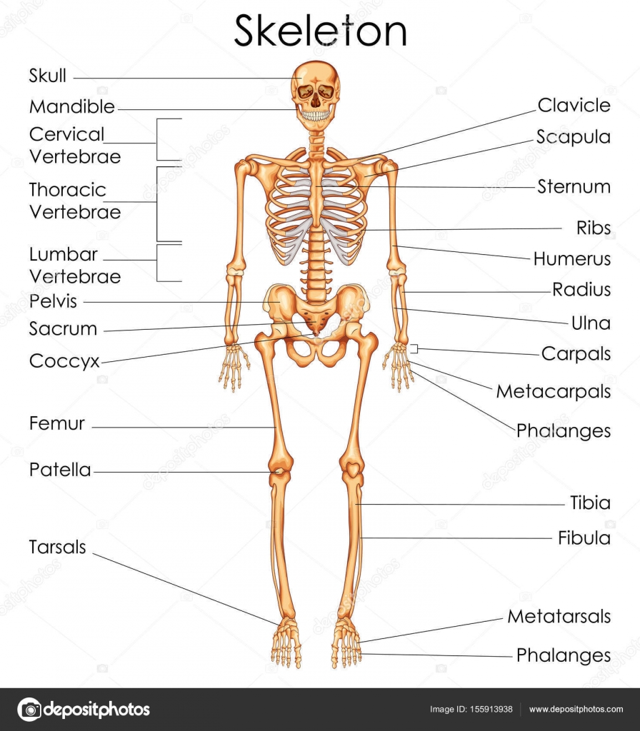 hight resolution of medical education chart of biology for human skeleton diagram stock vector