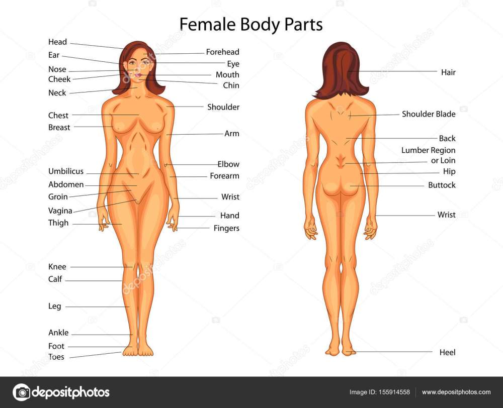 medium resolution of medical education chart of biology for female body parts diagram stock vector