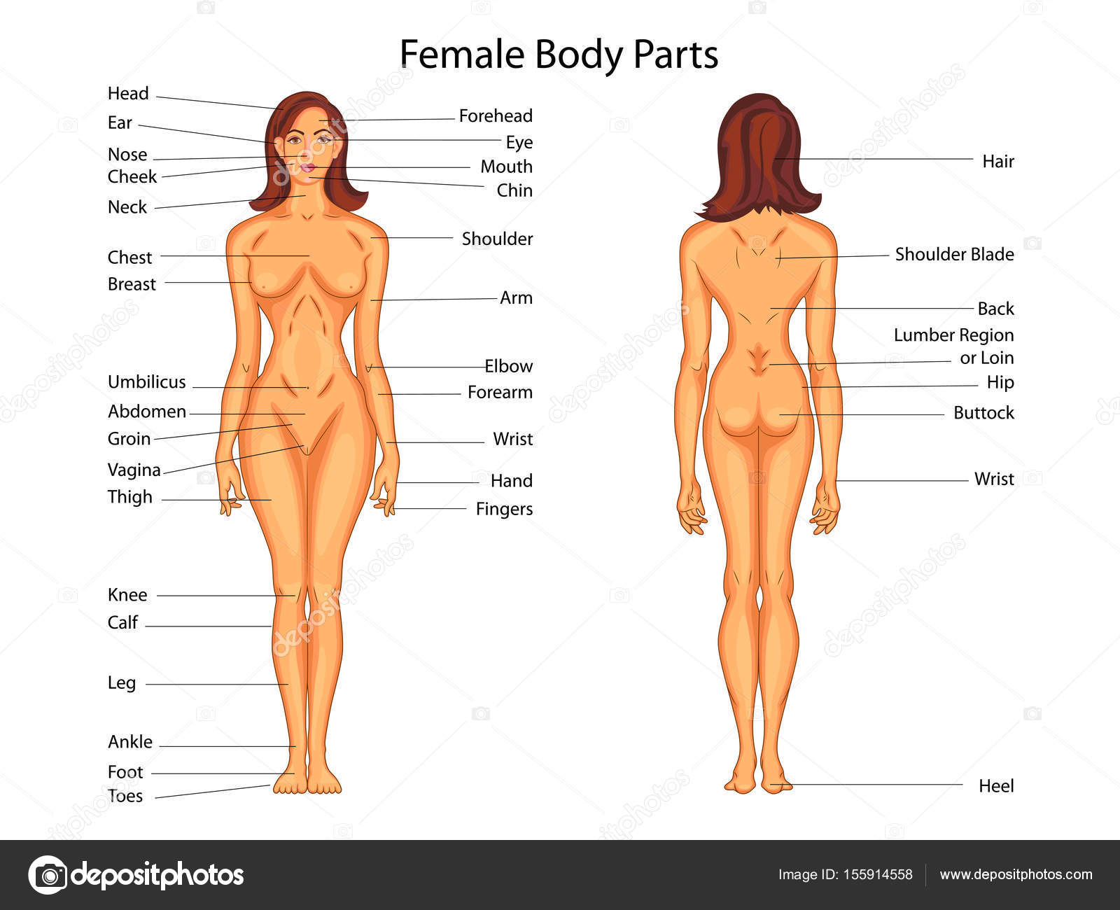 hight resolution of medical education chart of biology for female body parts diagram stock vector
