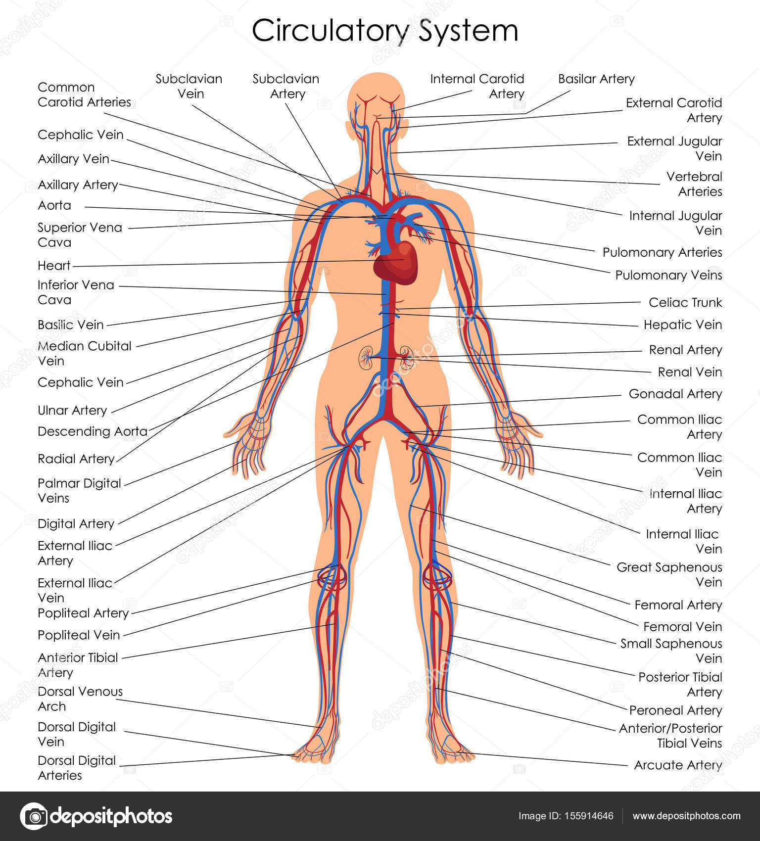 hight resolution of medical education chart of biology for circulatory system diagram stock vector