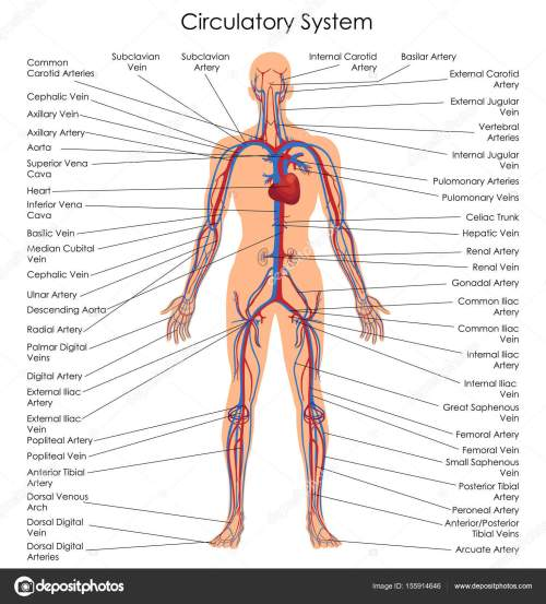 small resolution of medical education chart of biology for circulatory system diagram stock vector