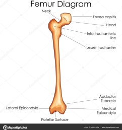 medical education chart of biology for femur bone diagram u2014 stockmedical education chart of biology [ 940 x 1024 Pixel ]