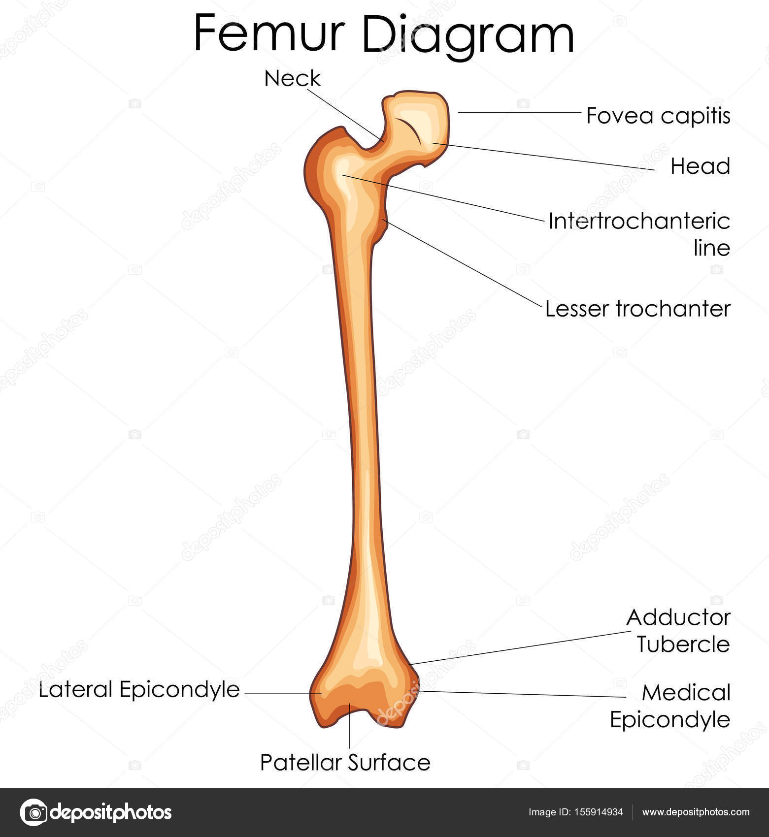 hight resolution of medical education chart of biology for femur bone diagram u2014 stockmedical education chart of biology