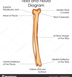 medical education chart of biology for tibia and fibula diagrammedical education chart of biology for tibia [ 918 x 1024 Pixel ]