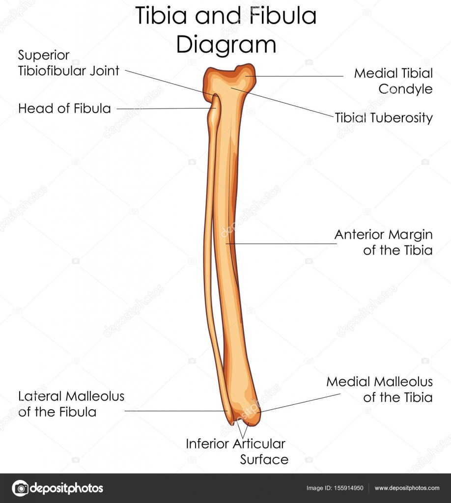 medium resolution of medical education chart of biology for tibia and fibula diagrammedical education chart of biology for tibia