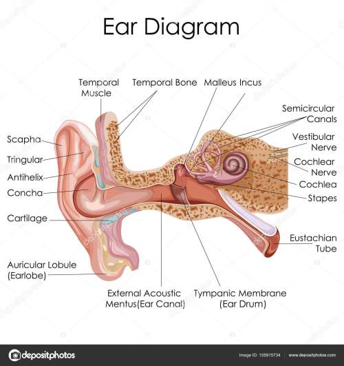 small resolution of medical education chart of biology for human ear diagram stock vector