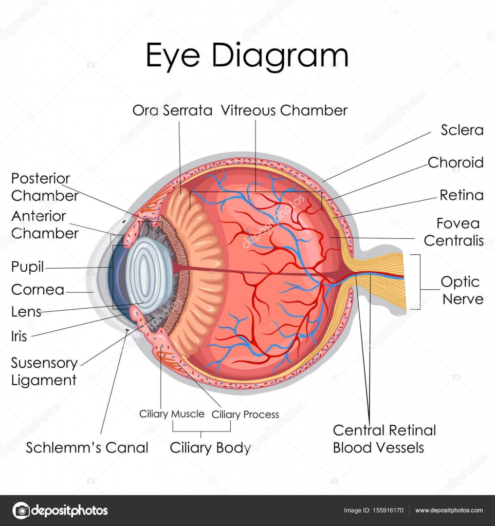 hight resolution of medical education chart of biology for human eye internal diagram stock vector