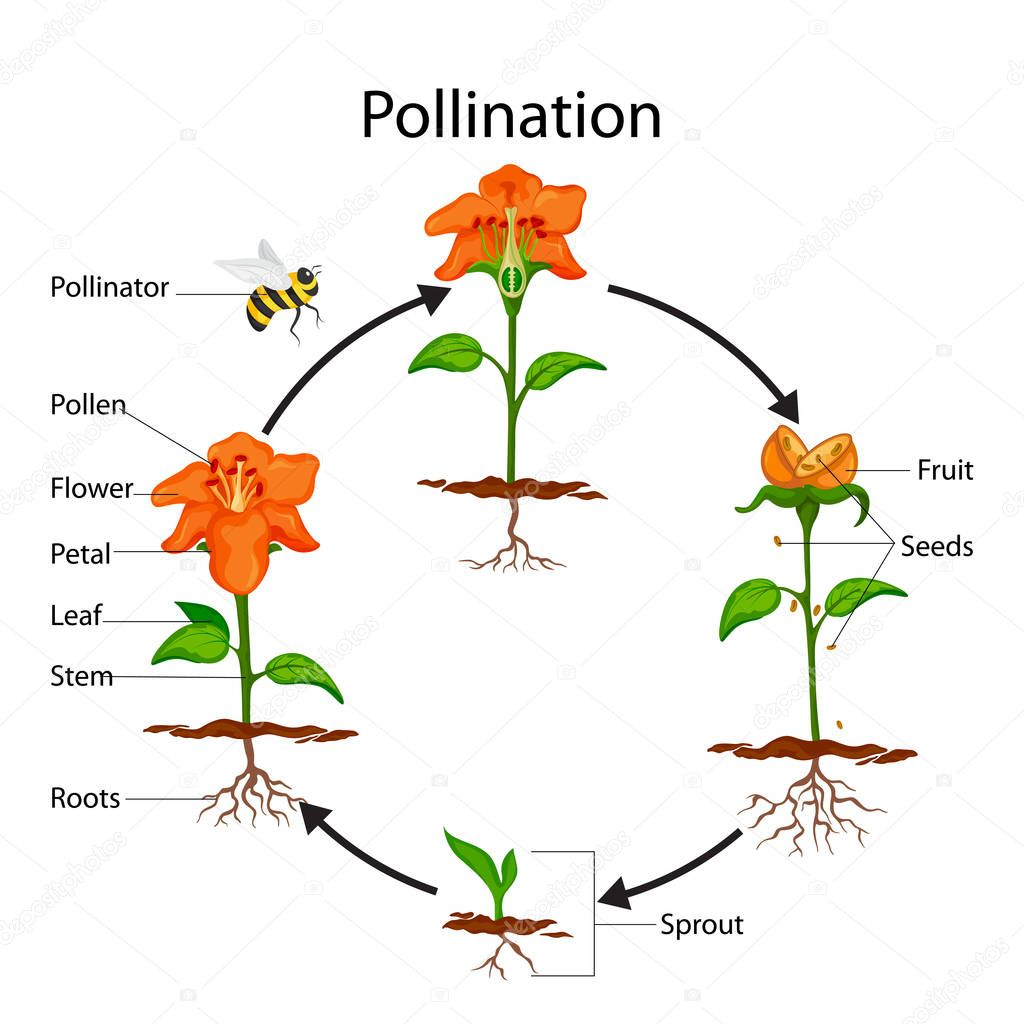Pollination Process Diagram