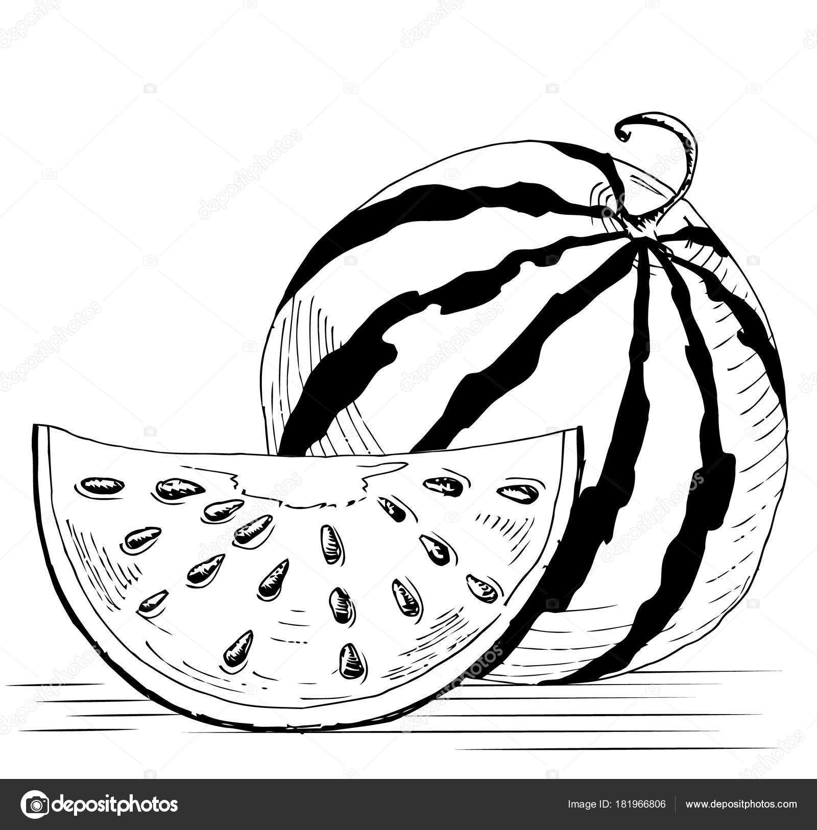 Sketch Of A Whole Watermelon And Slices Handmade Drawing
