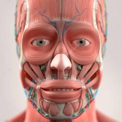 Muscles Of Facial Expression Diagram Sickle Cell Inheritance Modelo De Anatomia Rosto Humano  Stock Photo