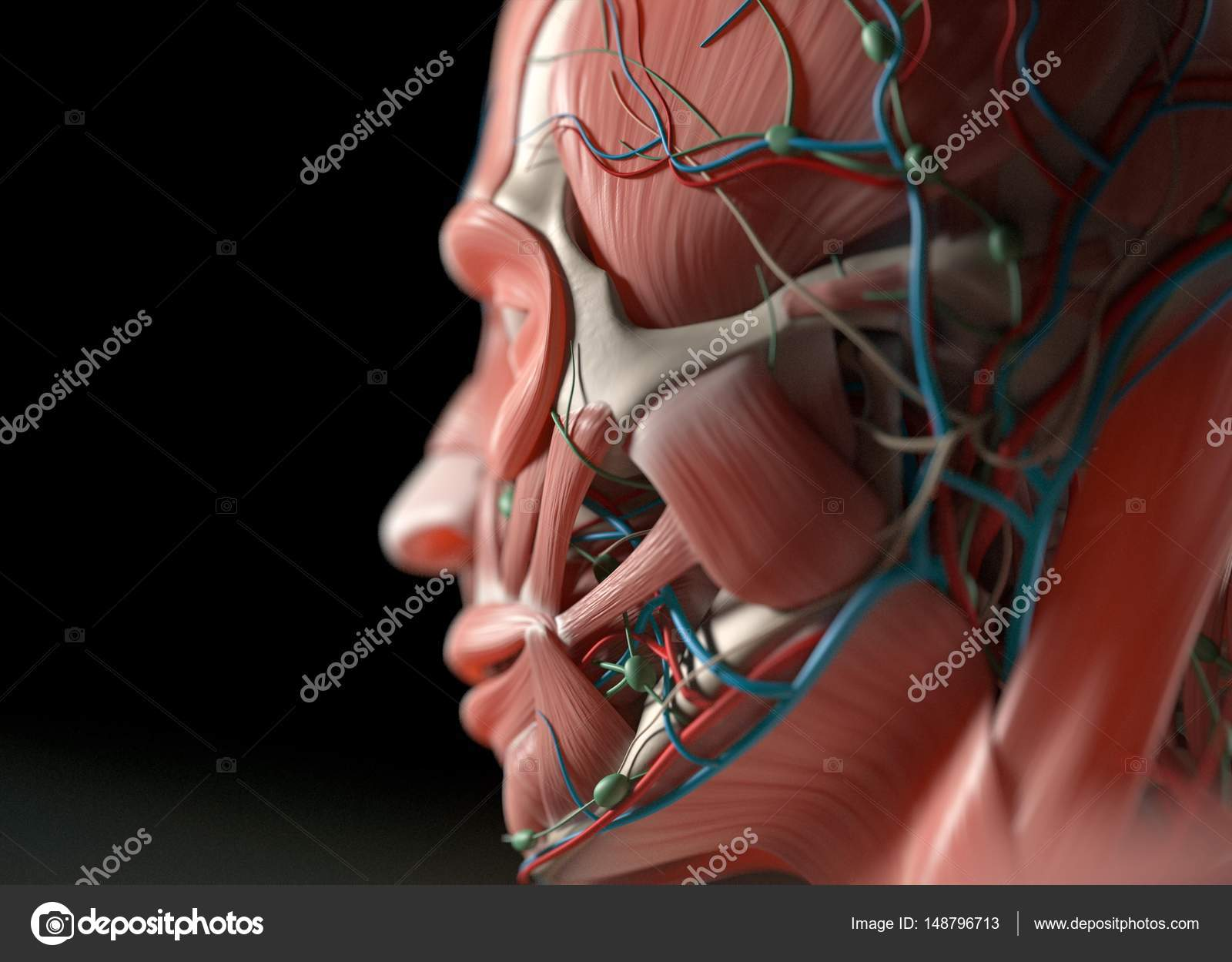 human vascular anatomy diagram wiring for 3 phase motor system model stock photo c anatomyinsider 3d illustration by