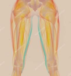 gracilis muscles anatomy model stock photo [ 1387 x 1700 Pixel ]