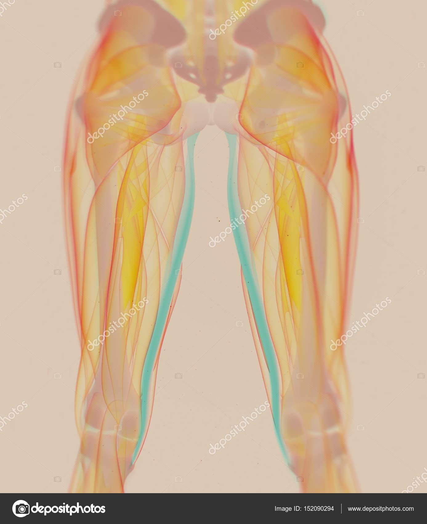 hight resolution of gracilis muscles anatomy model stock photo