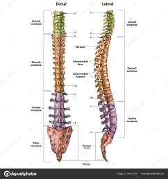 illustration of the human spine with the name and description of all sites lateral and spinal views vector by urfingus [ 1600 x 1700 Pixel ]