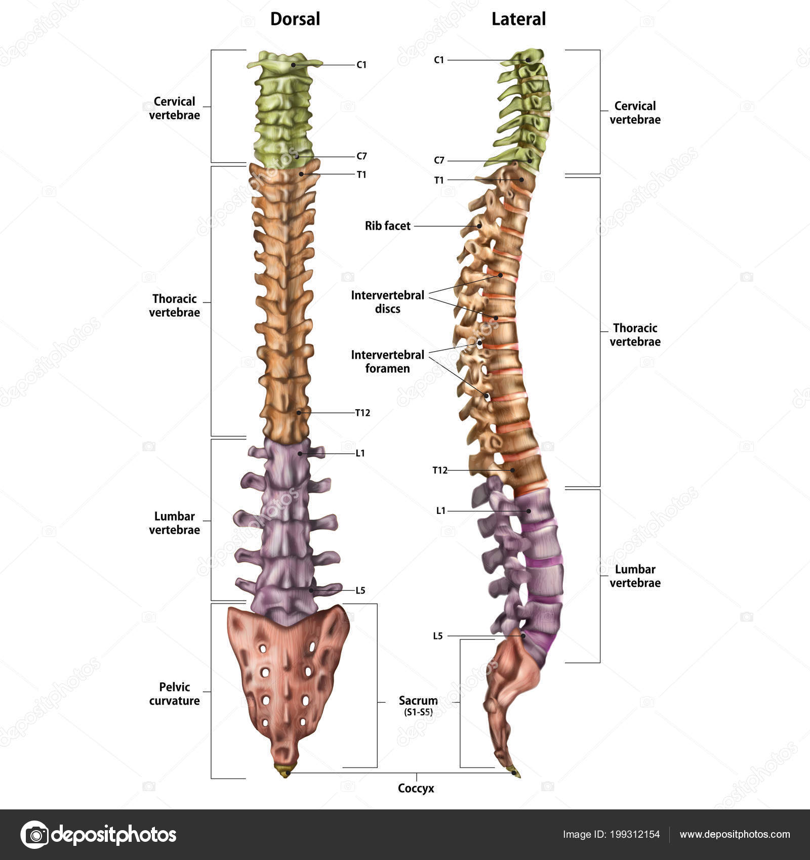 hight resolution of illustration of the human spine with the name and description of all sites lateral and spinal views vector by urfingus