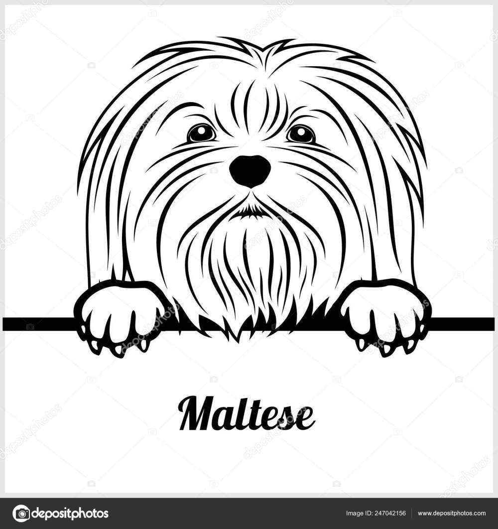 medium resolution of maltese peeking dogs breed face head isolated on white vector stock vector by digital clipart