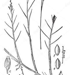 diagram pedaium stem which showing transverse section stem vintage line stock illustration [ 875 x 1700 Pixel ]