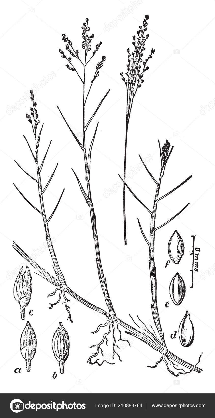 medium resolution of diagram pedaium stem which showing transverse section stem vintage line stock illustration