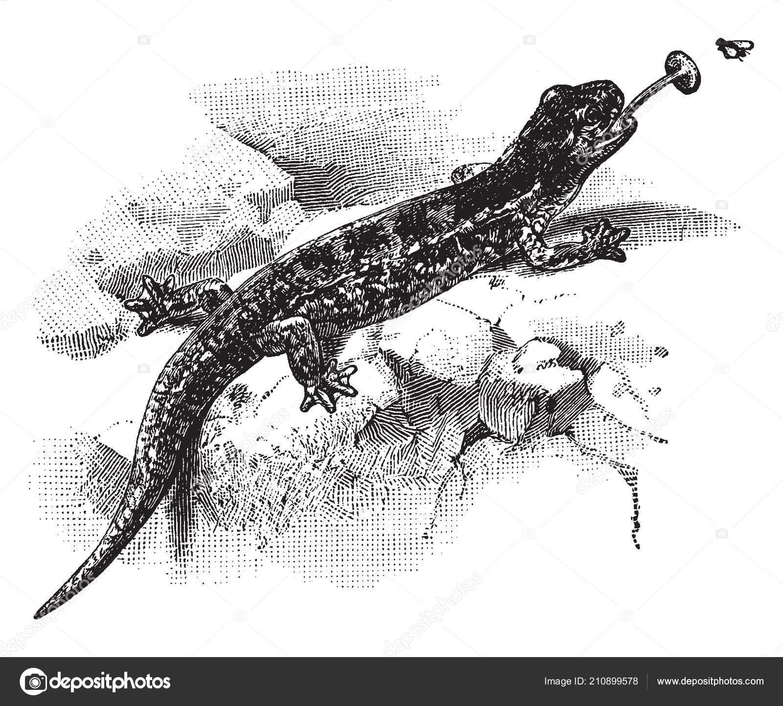 kitchen salamander professional knives 吃昆虫的红蝾螈复古线画或雕刻插图 图库矢量图像 c morphart 210899578 图库矢量图片