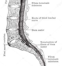 the conus and medullaris and the filum terminale exposed within the spinal canal vintage line drawing or engraving illustration vector by morphart [ 904 x 1700 Pixel ]