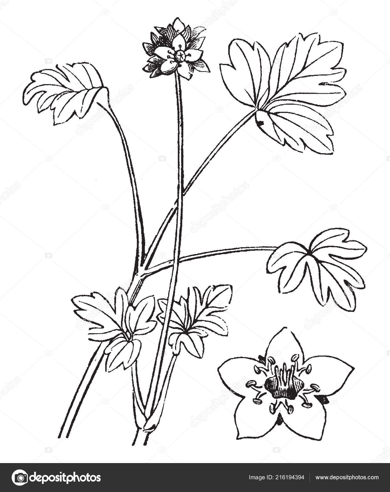 Moschatel Plant Which Herbaceous Perennial Flowering Plant