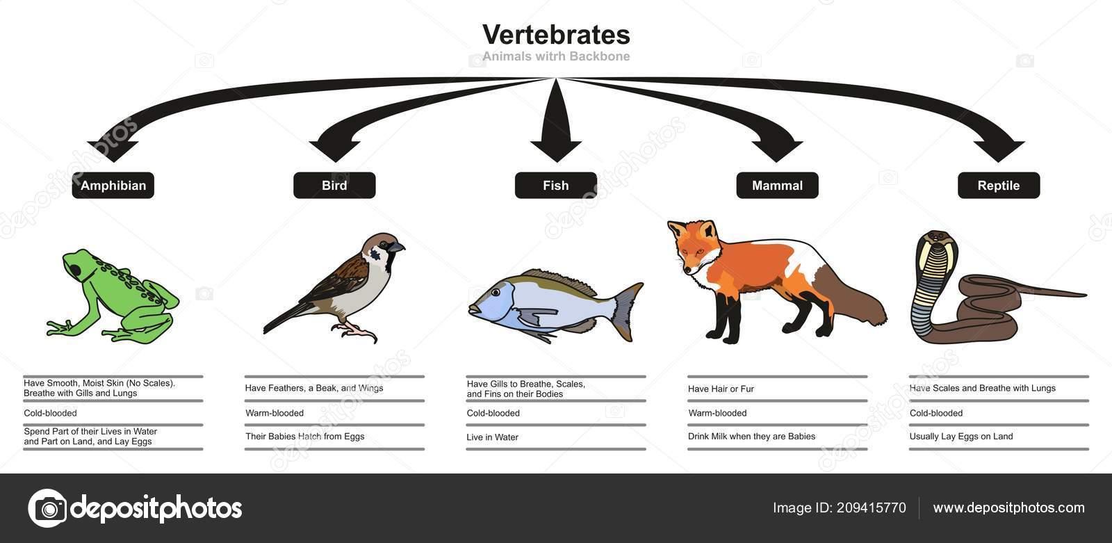 Wirbeltiere Klassifikationen Und Merkmale Infografik