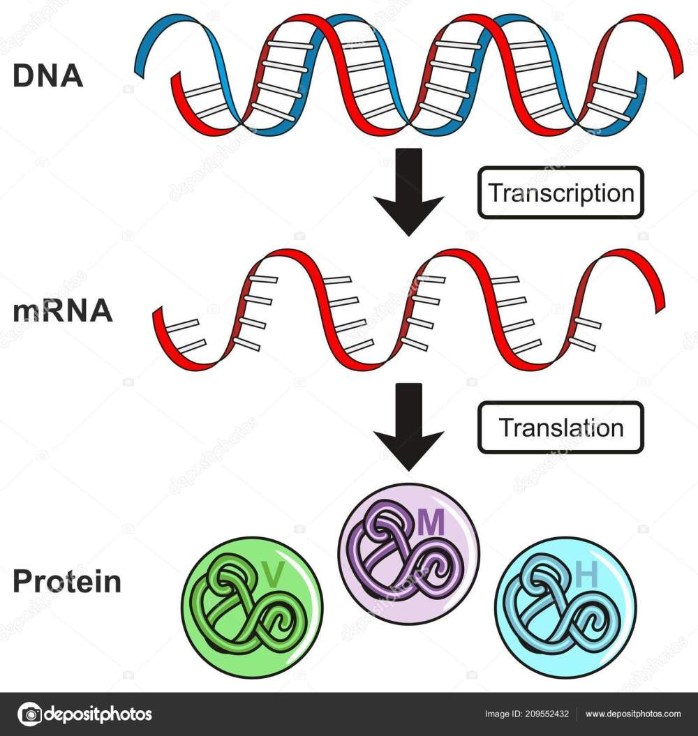 medium resolution of central dogma of gene expression infographic diagram showing the process of transcription and translation from dna to rna to protein and how it form for